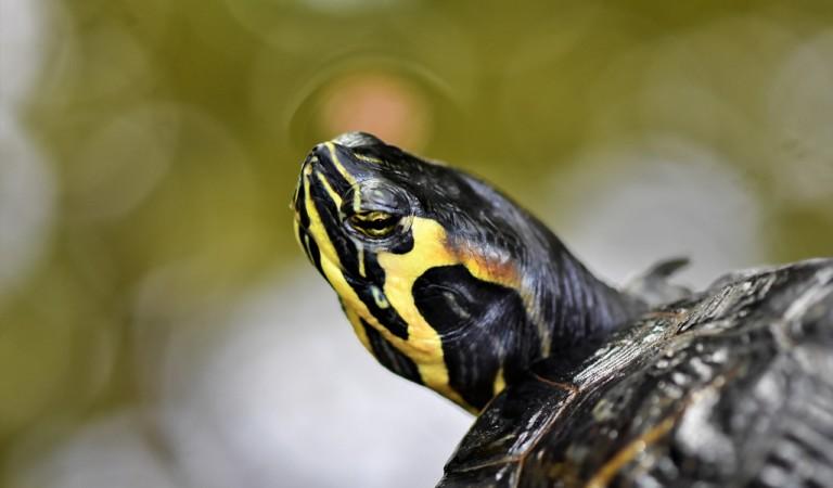 Incendi nel Torinese: animali in pericolo. Volontari salvano anche una tartaruga