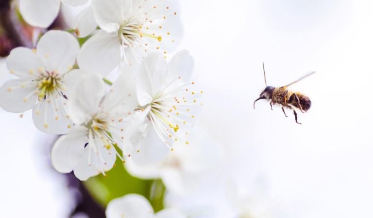 Inverno caldo e primavera fredda: le api rischiano (e anche noi)