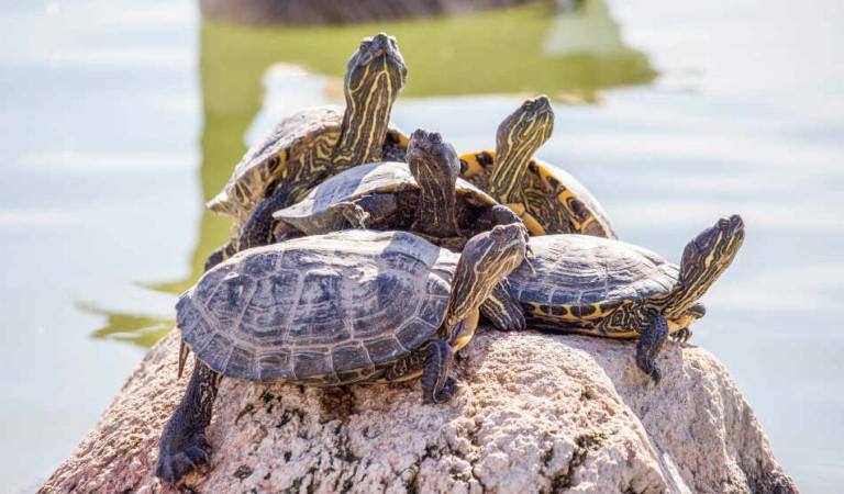Emergenza tartarughe a Torino, è un'invasione. Di chi è la colpa?