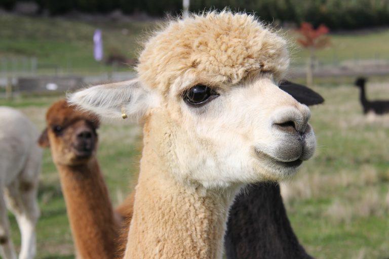 Joy l'alpaca che ha salvato due turiste da un pitbull