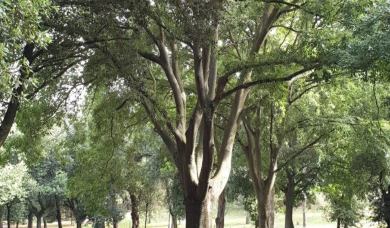 Torino é sempre più verde con la bellezza di 300 chilometri di alberi