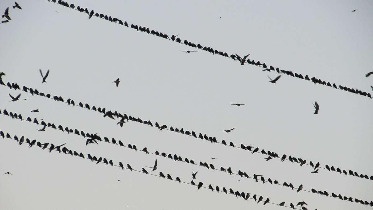 Come nel film di Hitchcock, stormo di corvi attacca i passanti