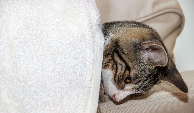 Primo caso di gatto positivo al Covid 19. Dove e come è stato trovato