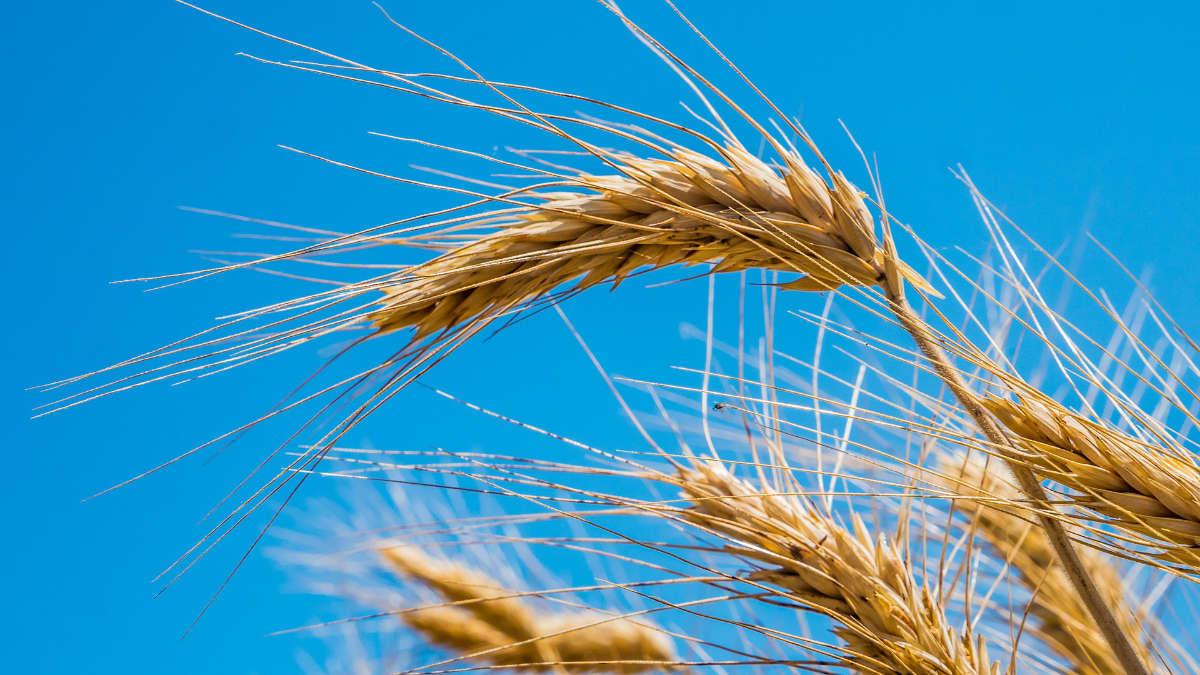 Intolleranza al glutine e grano