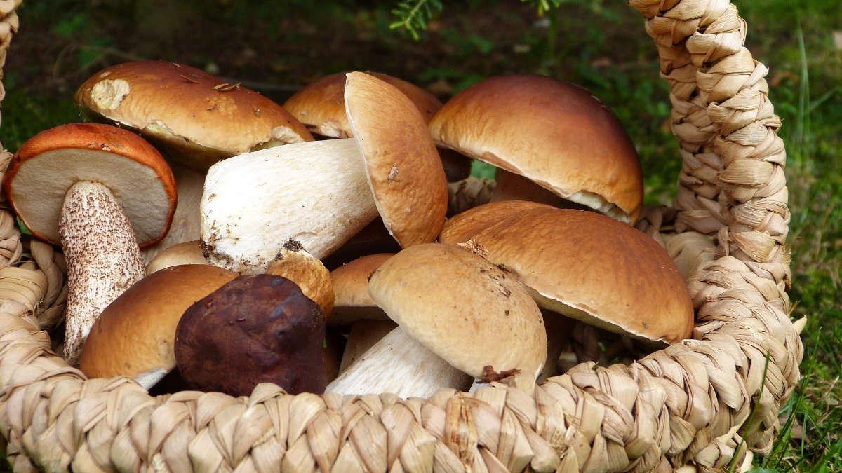 Controllo gratuito funghi Asl