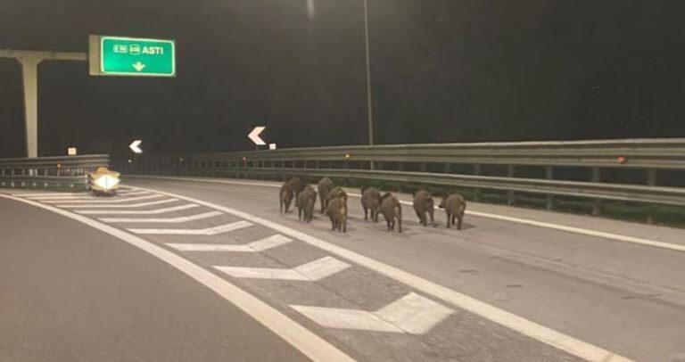 E così i cinghiali presero l'autostrada in Piemonte, la foto diventa virale
