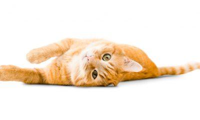 gatto positivo variante inglese covid