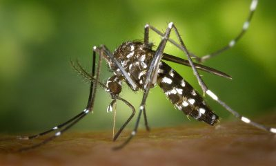 zanzara coreana piemonte